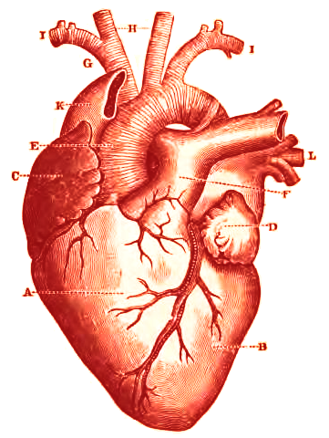 Heart anatomy wiki