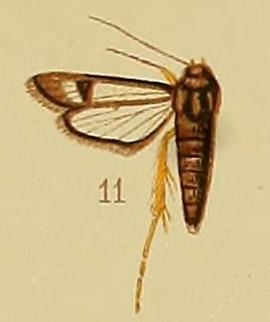 Pl.41-fig.11-Chamanthedon fulvipes (Hampson, 1910) (Lepidopoda).JPG