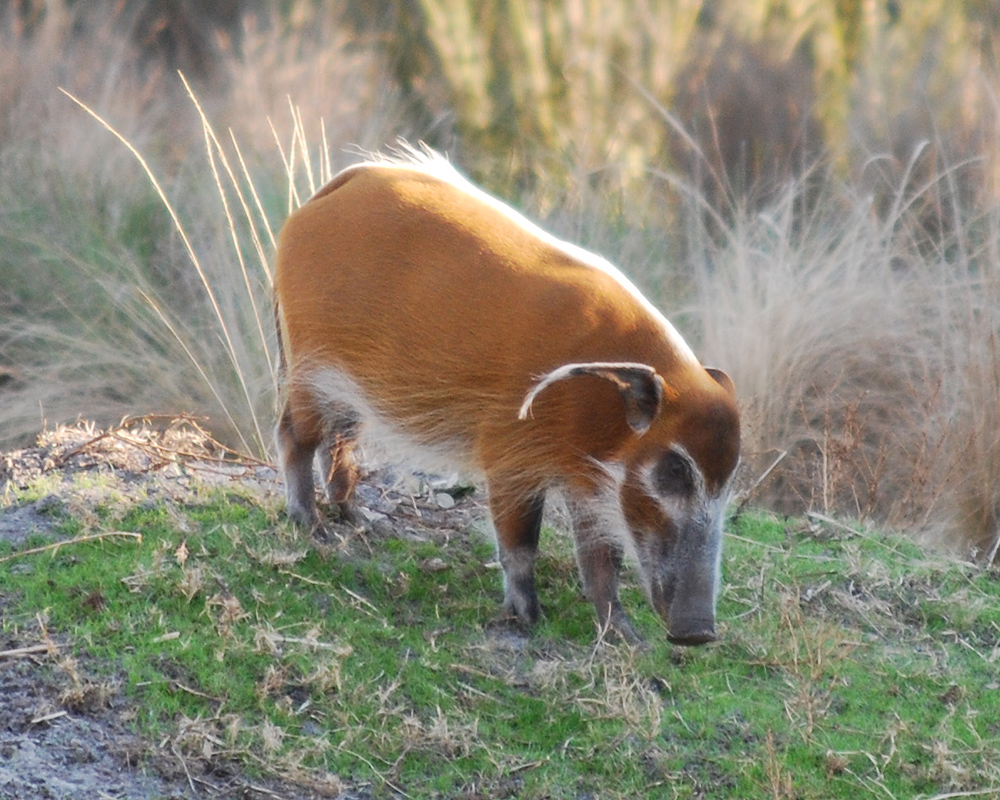 file potamochoerus porcus   disney s animal kingdom lodge