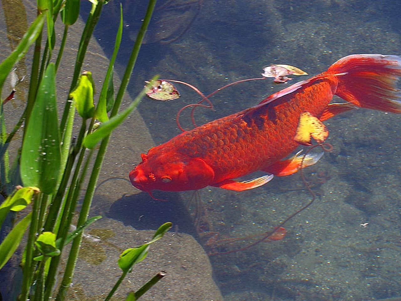 FileRed Goldfish Animaljpg Wikimedia Commons
