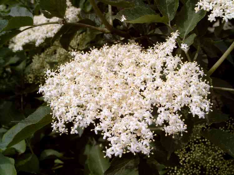 Sambucus nigra Bluete
