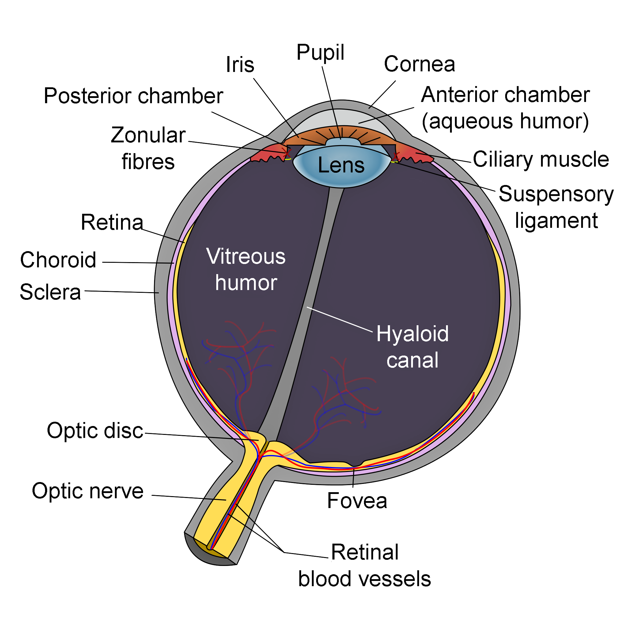 Fileschematic diagram of the human eye en editg wikimedia commons fileschematic diagram of the human eye en editg ccuart Image collections