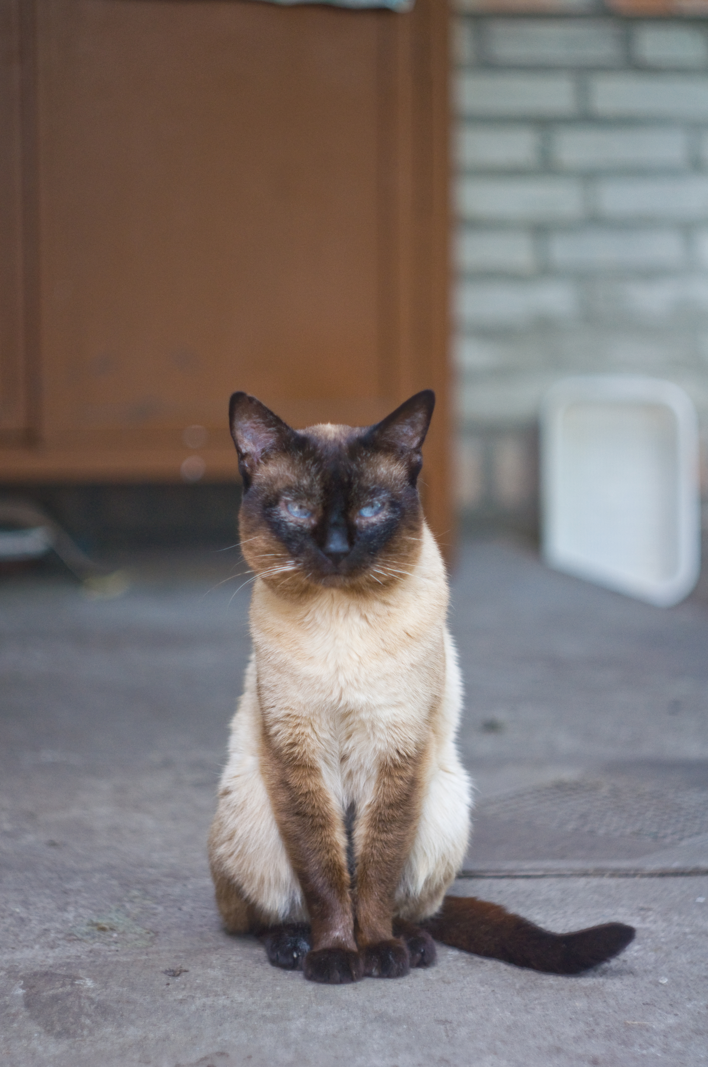 Siamese cat 2.jpg