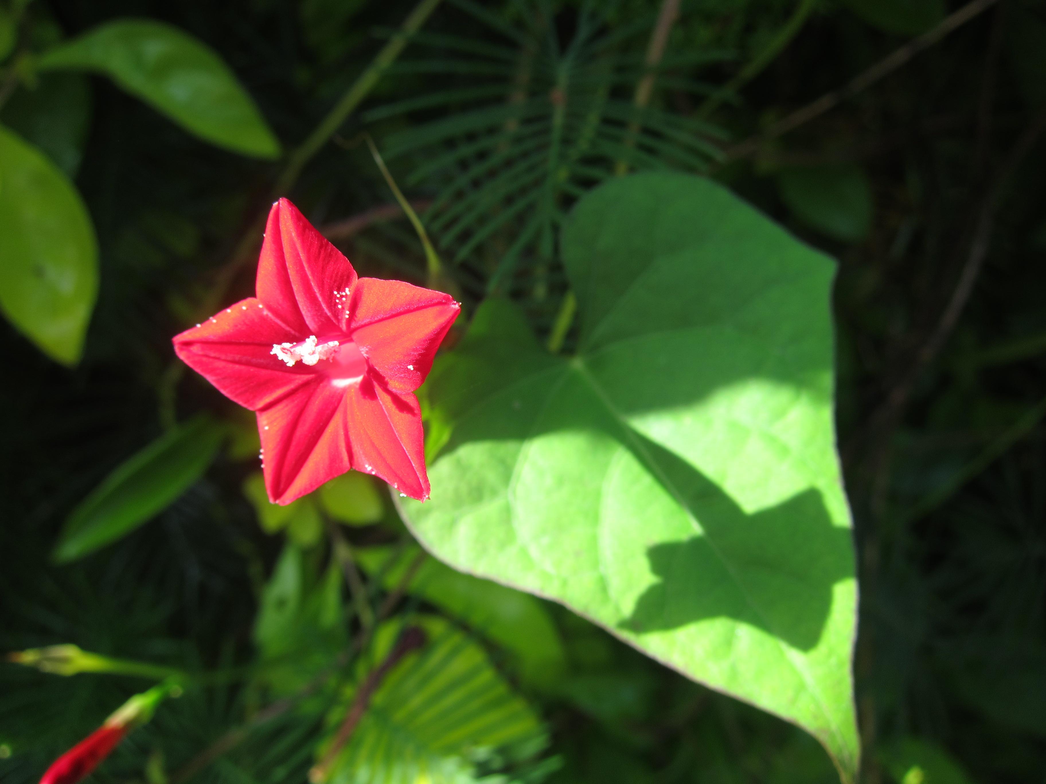 File Star Flower തീപ്പൊരി 02 JPG Wikimedia mons