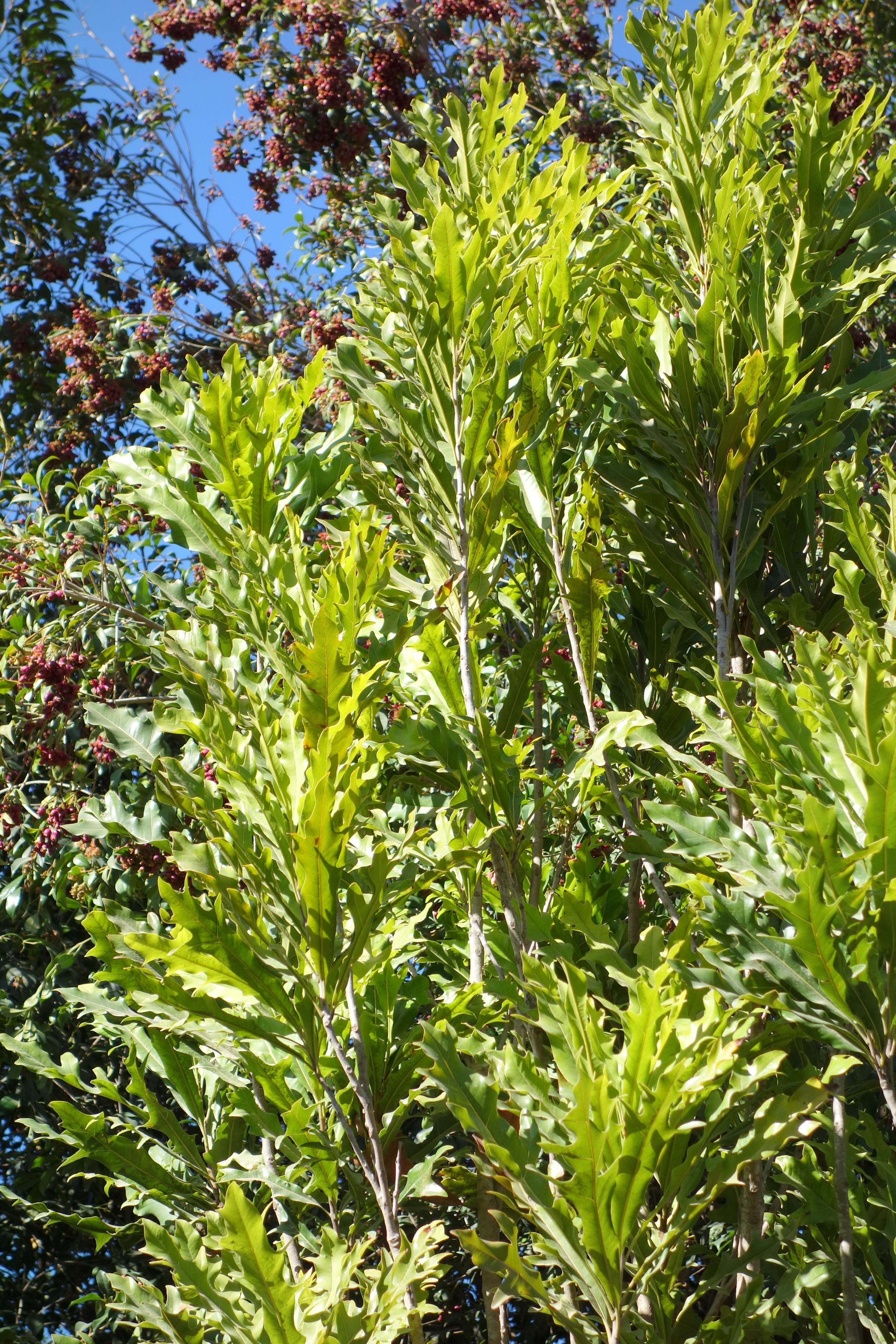 File:Stenocarpus sinuatus - Leaning Pine Arboretum ...