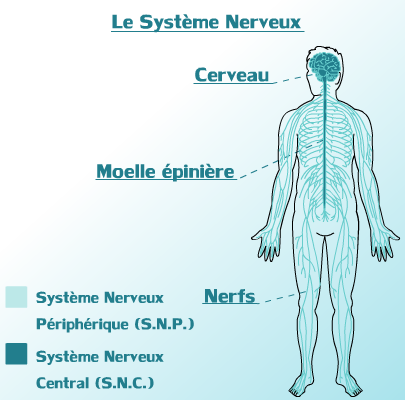 Systeme Nerveux Central & Peripherique du corps Humain..png