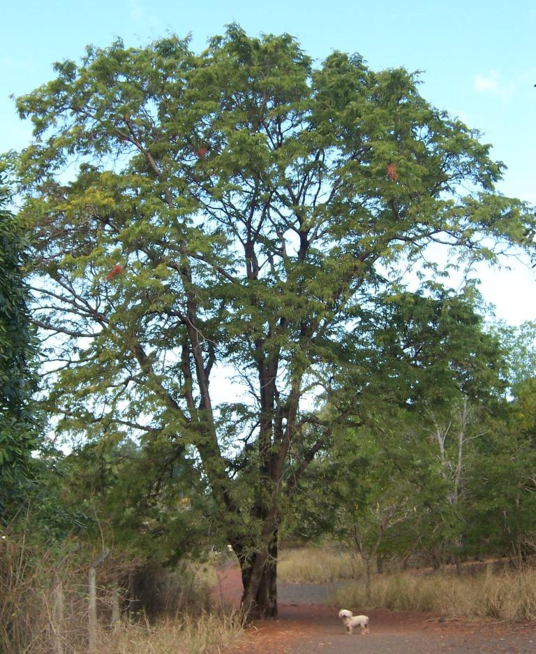 tamarind tree bonsai