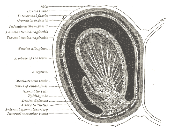 Transverse section through the left side of the scrotum and the left testis.