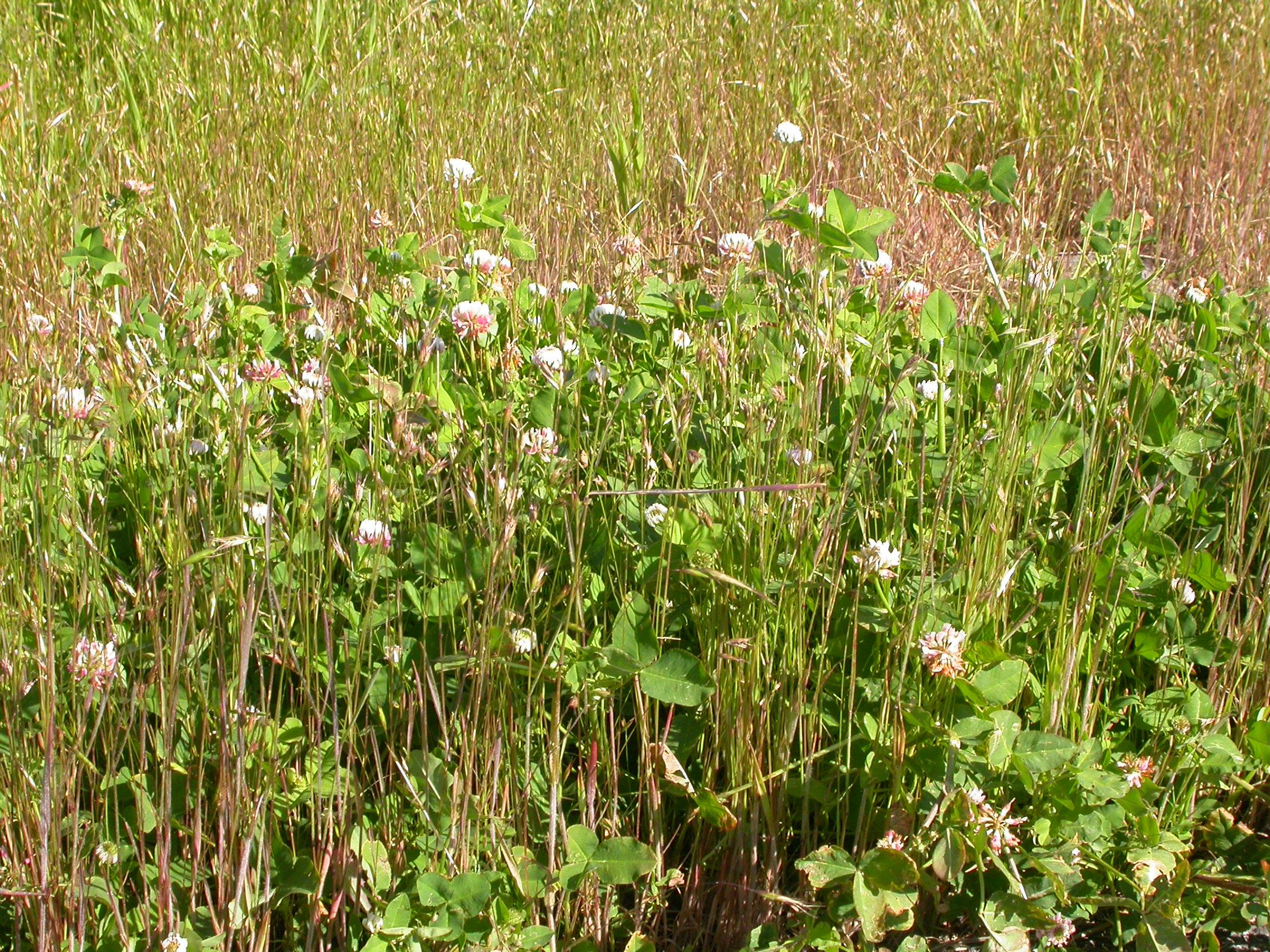 By Matt Lavin from Bozeman, Montana, USA (Trifolium hybridum  Uploaded by Tim1357) [CC BY-SA 2.0 (http://creativecommons.org/licenses/by-sa/2.0)], via Wikimedia Commons