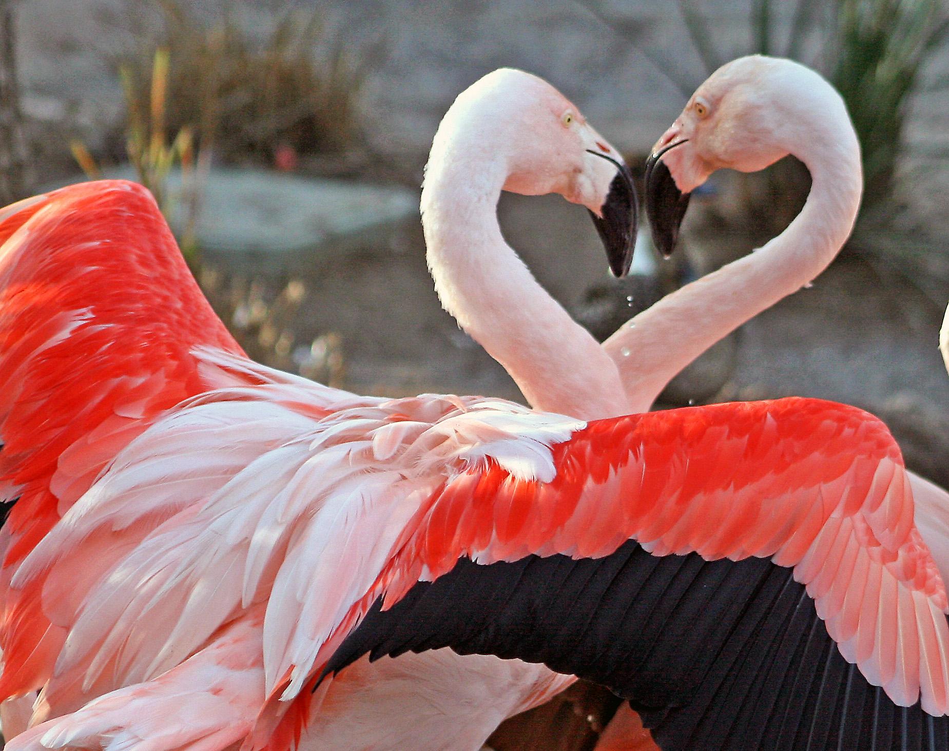 Flamingos, nature