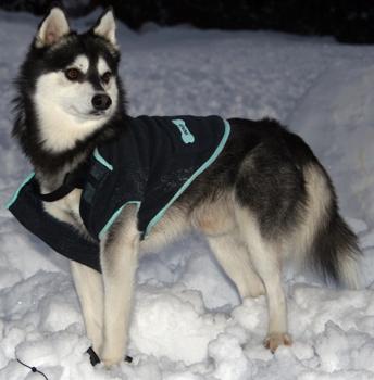 Alaskan klee kai - Dog Scanner