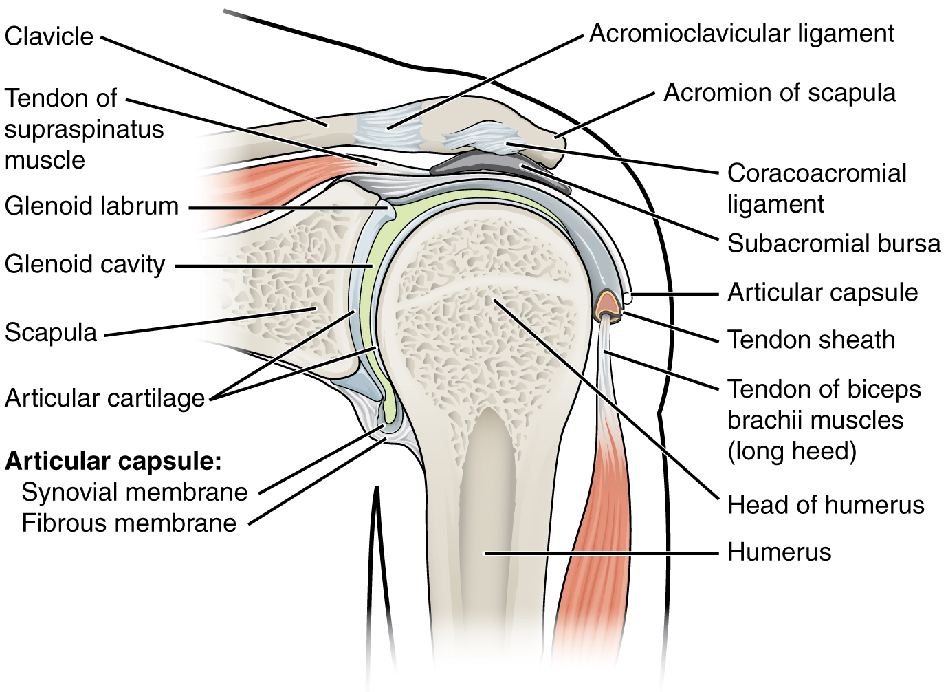 The Shoulder Joint: Anatomy, Problems, Treatment