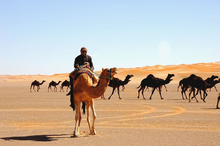 A caravan of camels crossing the Ad Dahna desert in Saudi Arabia