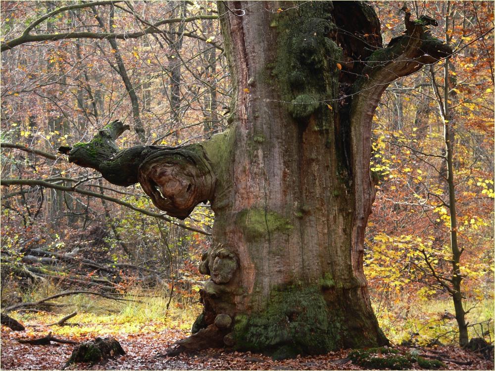 File Alte Eiche Im Herbst Jpg Wikimedia Commons
