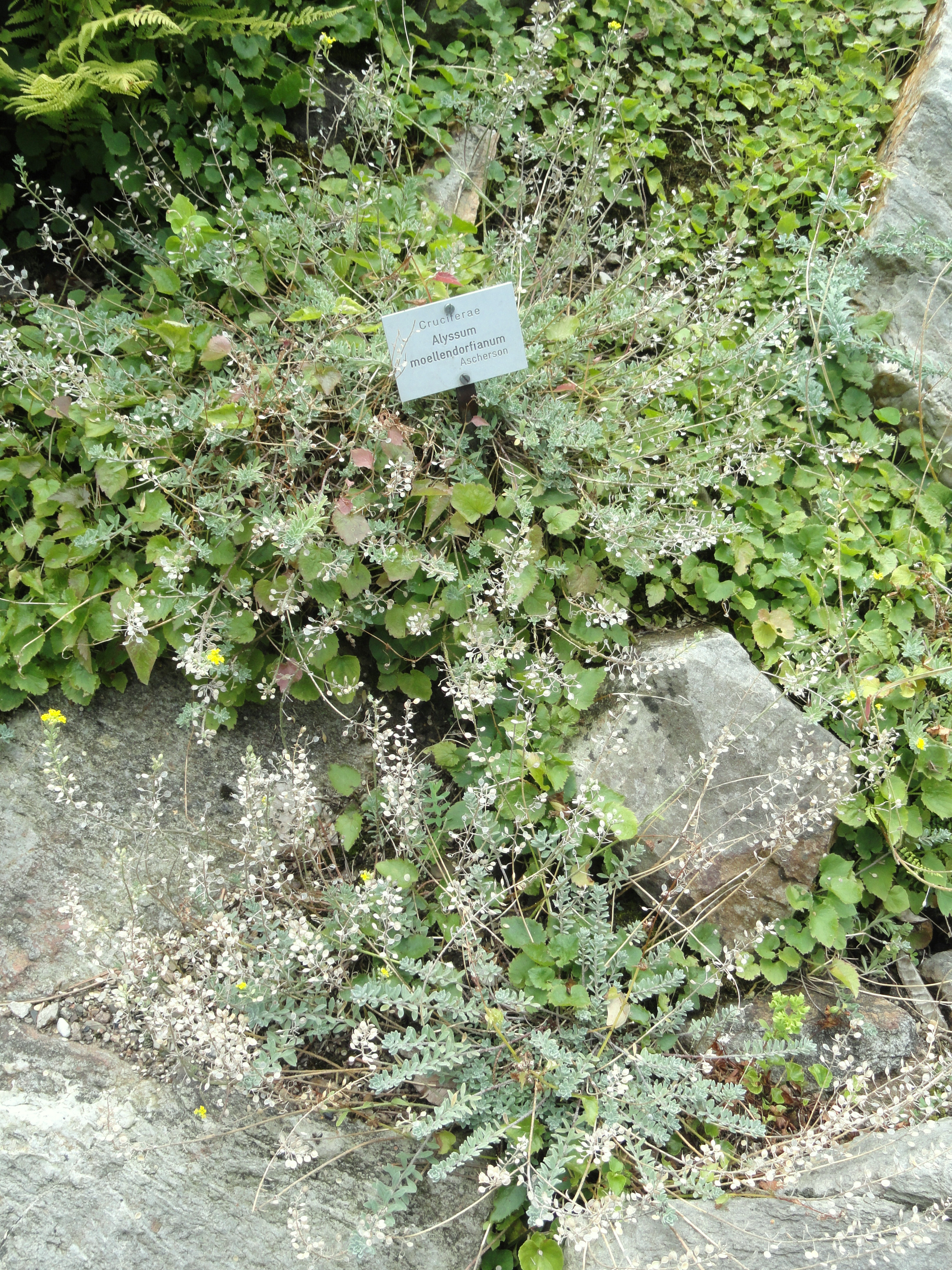 paypay alyssum moellendorfianum botanischer garten frankfurt am main dsc02638 jpg wikipedia. Black Bedroom Furniture Sets. Home Design Ideas