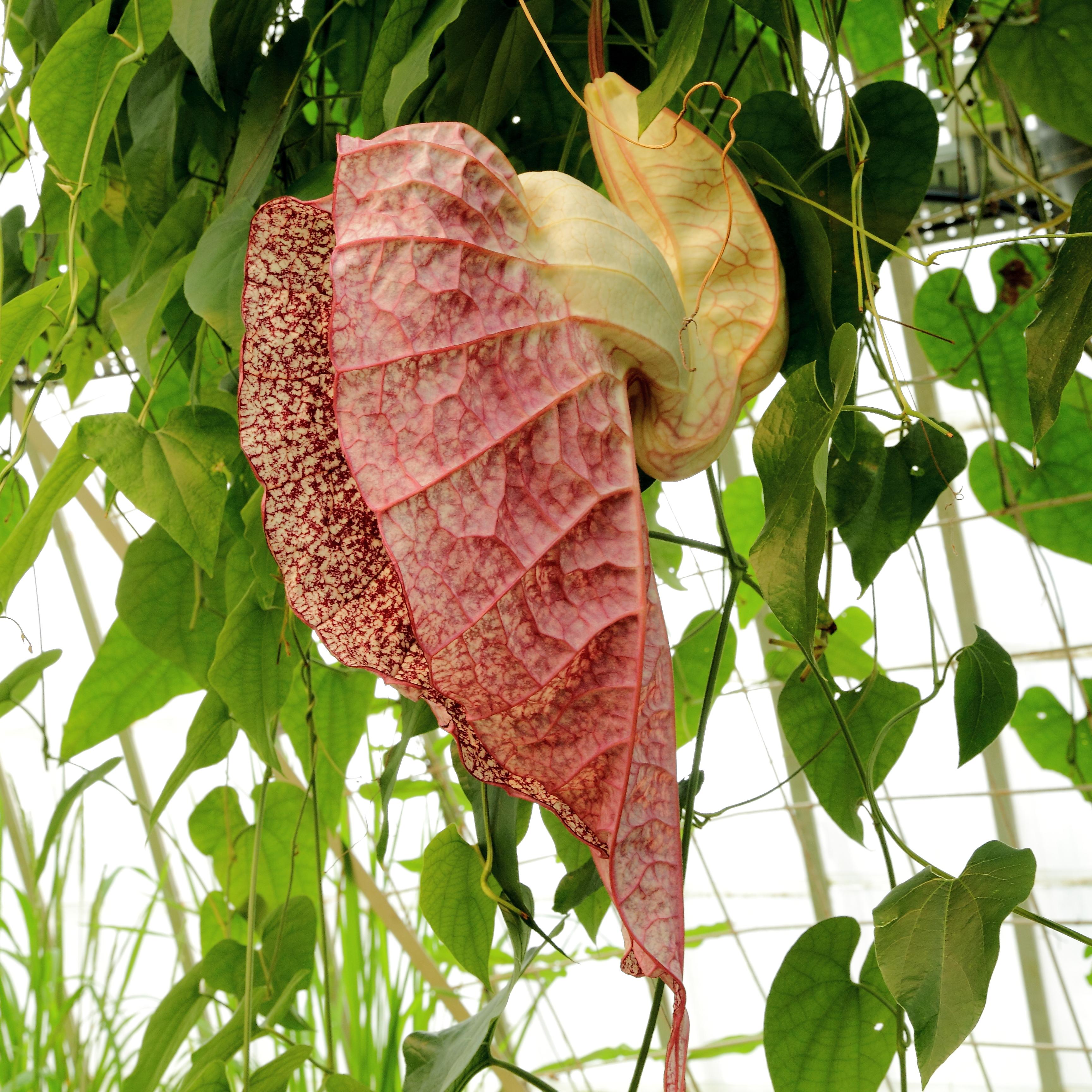 Tình yêu cây cỏ ĐV2 - Page 5 Aristolochia_grandiflora-IMG_4616