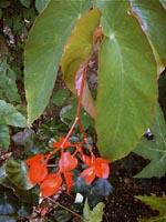 B. macduffieana