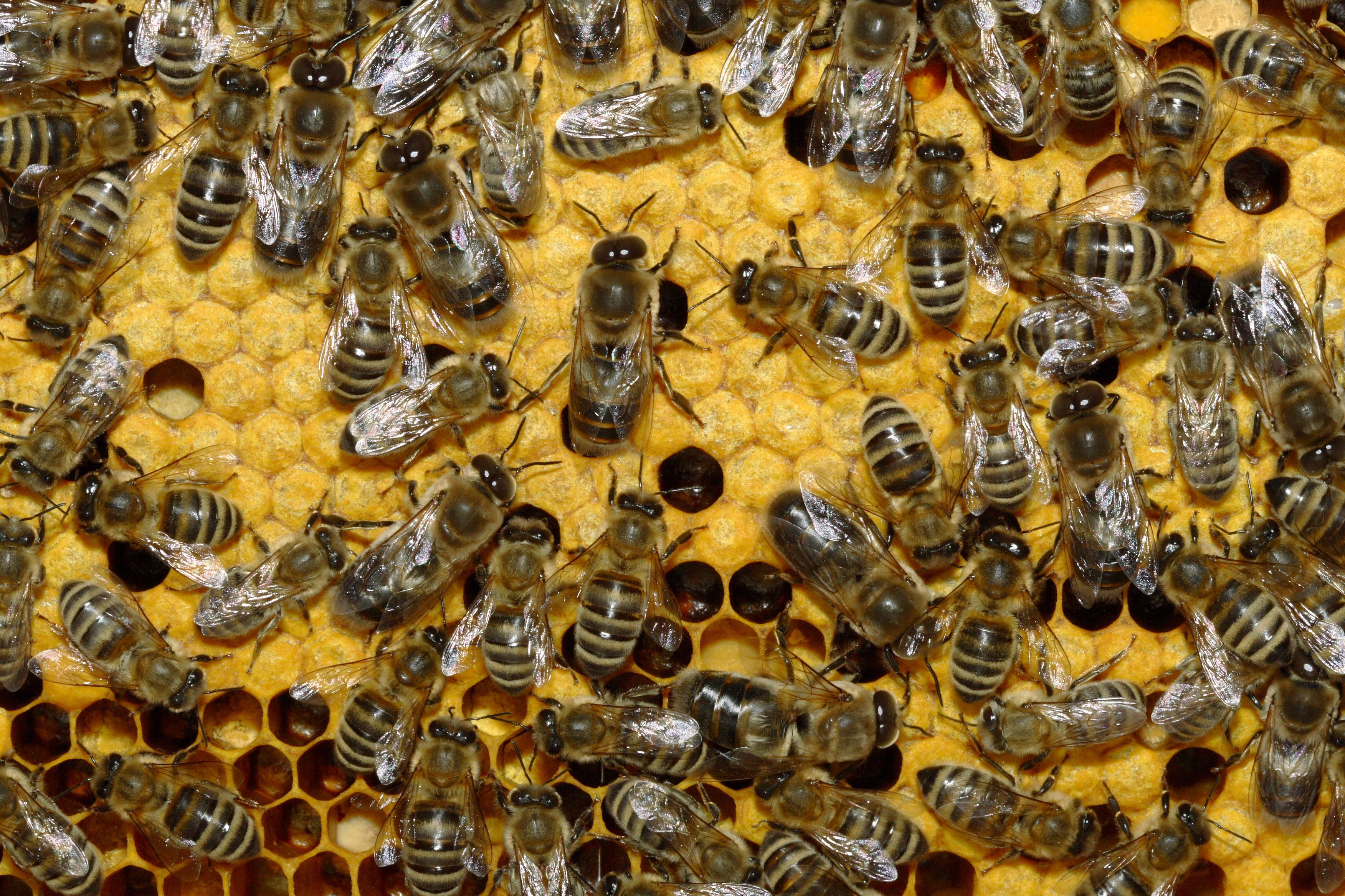 Bienen 35b.jpg