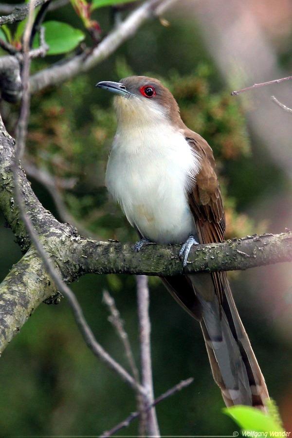 Black cuckoo bird - photo#13