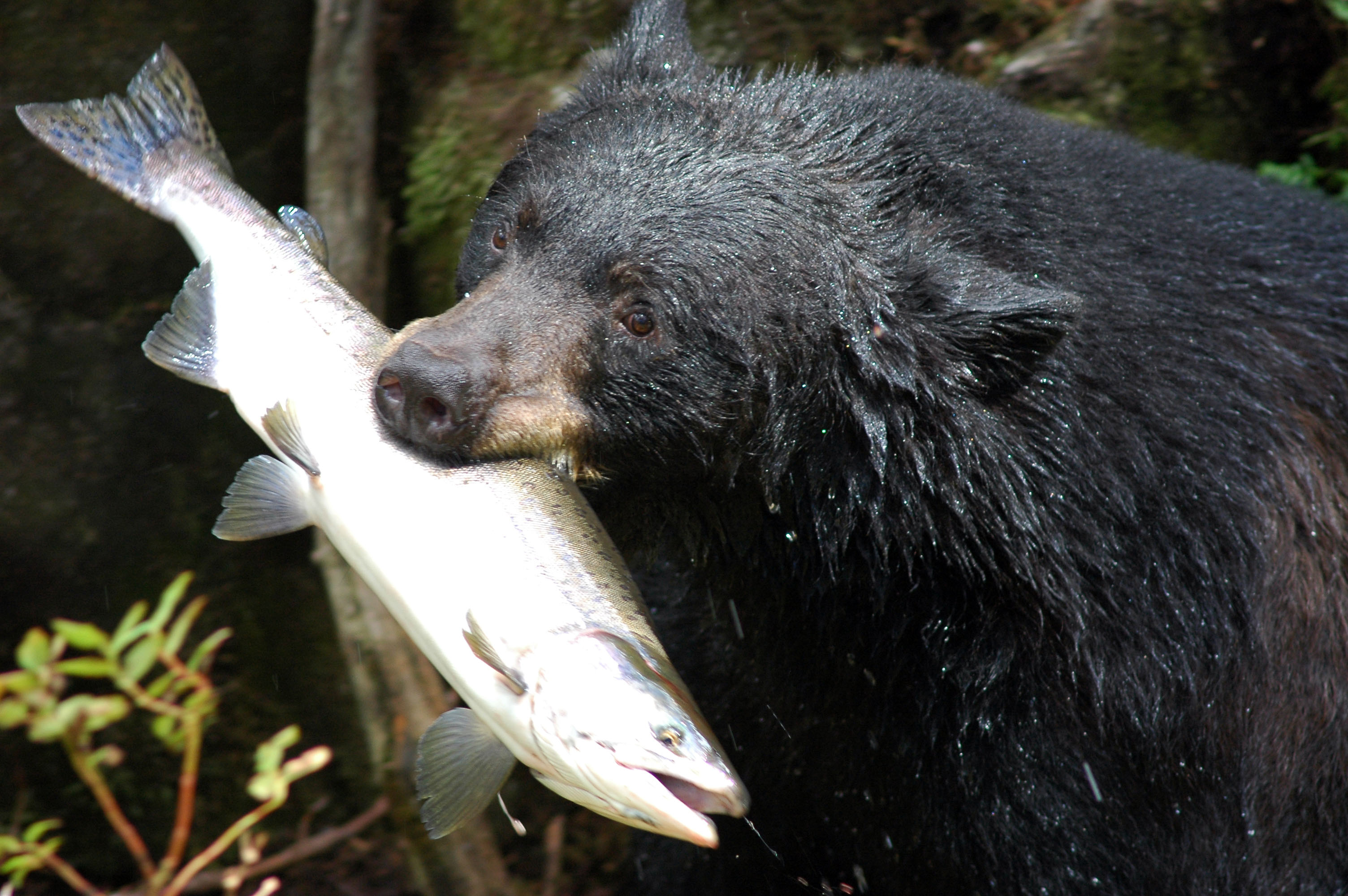 Description Black bear with salmon.jpg