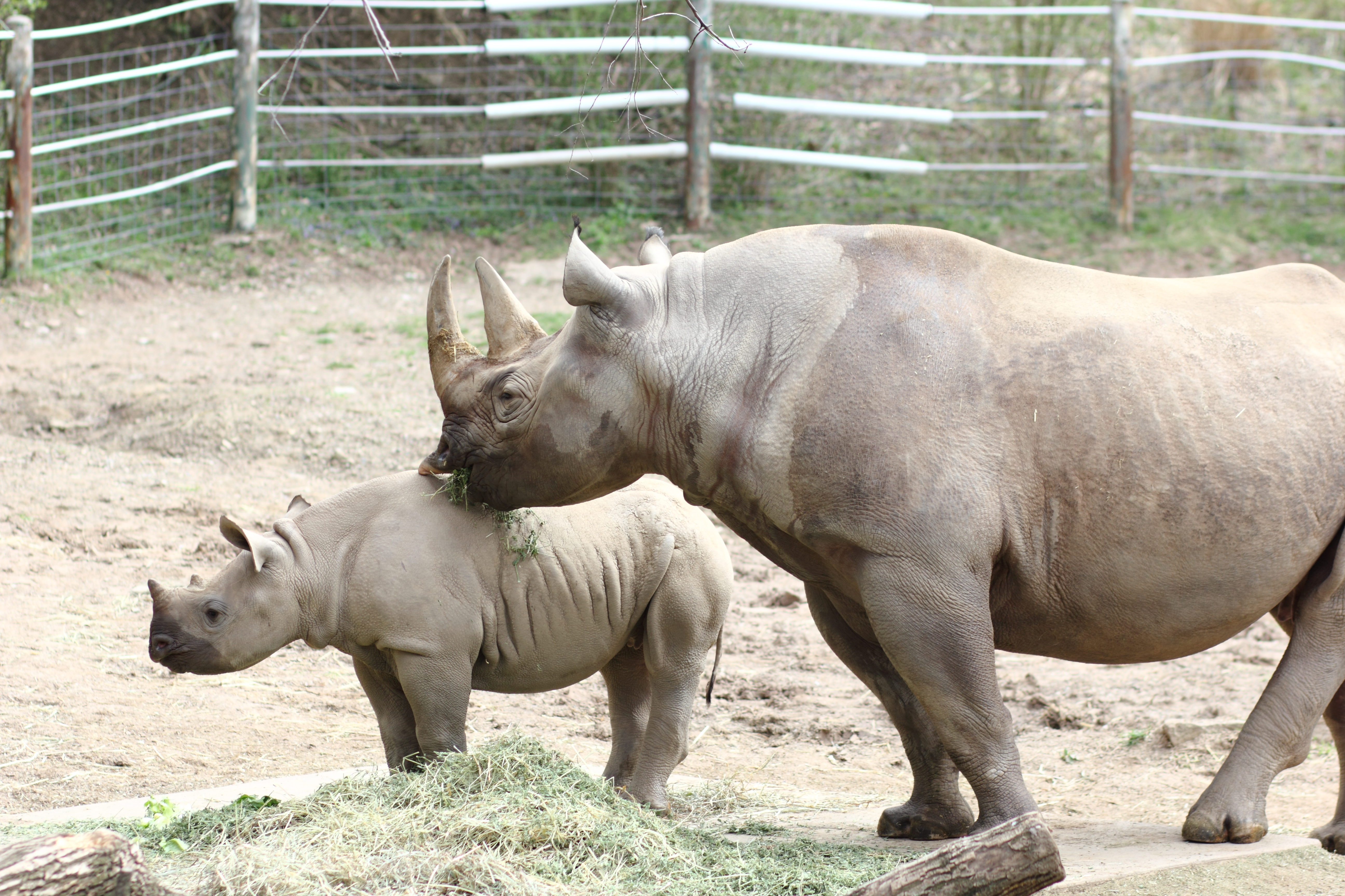 file black rhinoceros mother and calf at the pittsburgh zoo 01 jpg