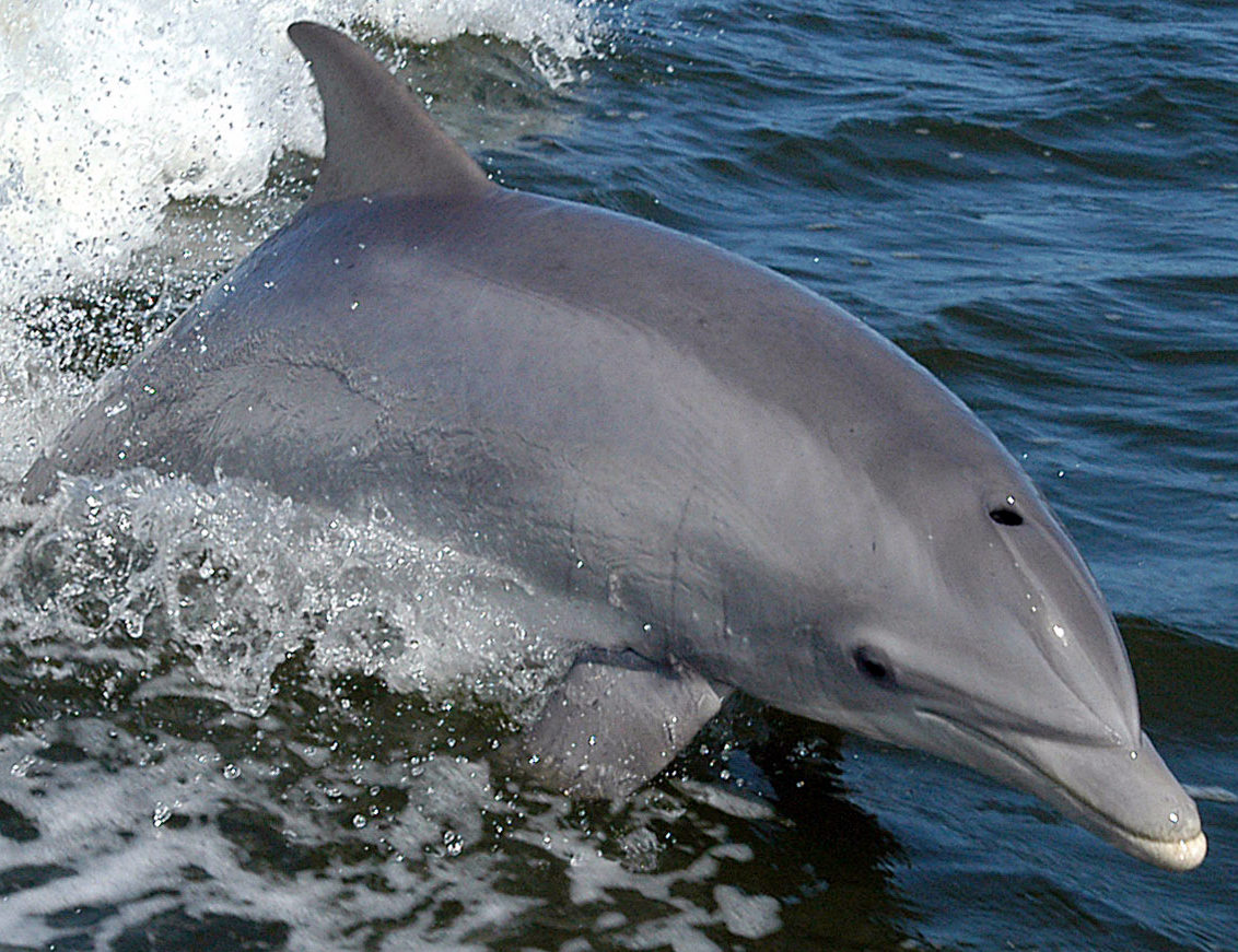 Bottlenose Dolphin Adaptations Bottlenose Dolphin Tursiops