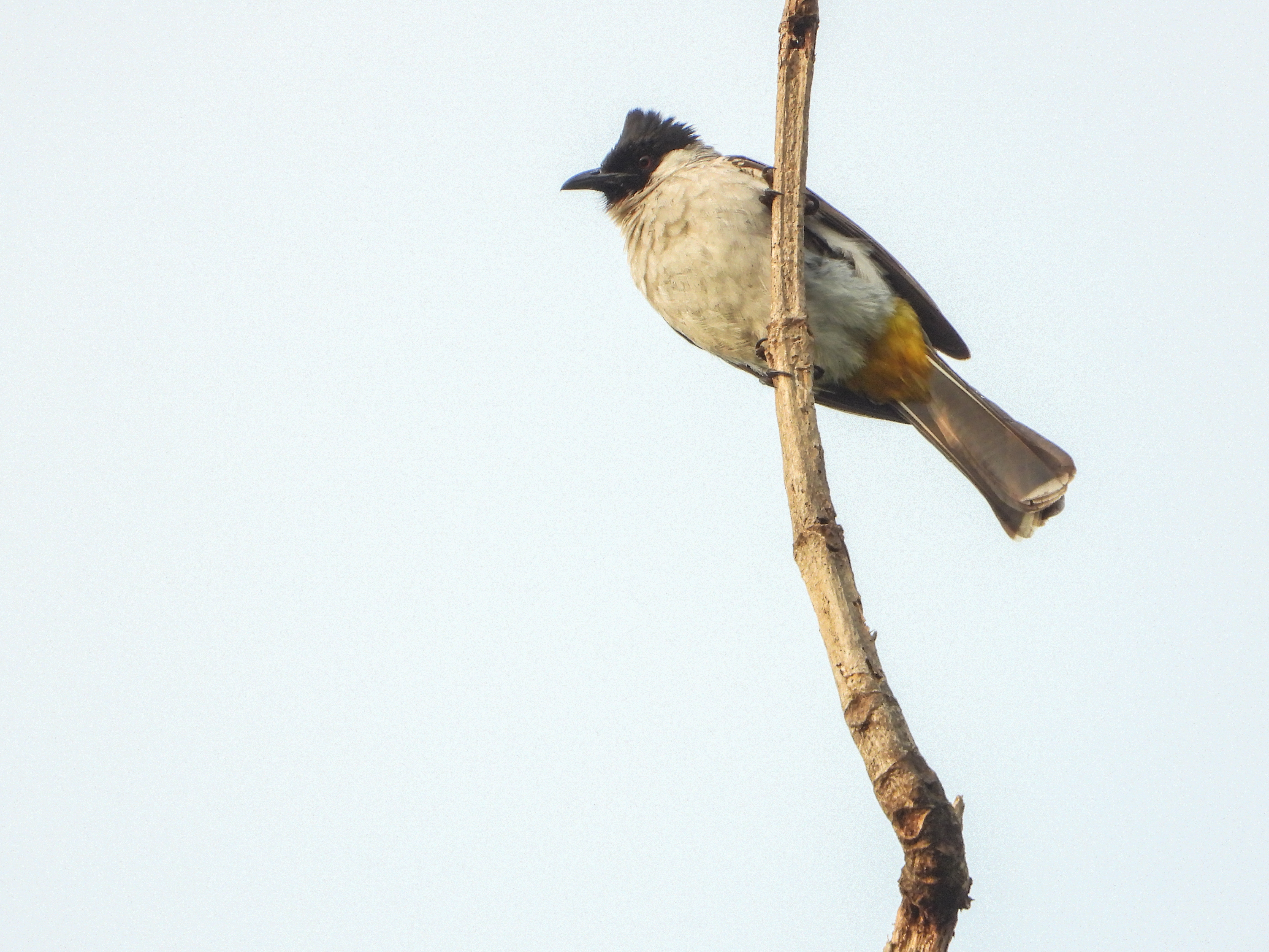 File Burung Kutilang Jpg Wikimedia Commons