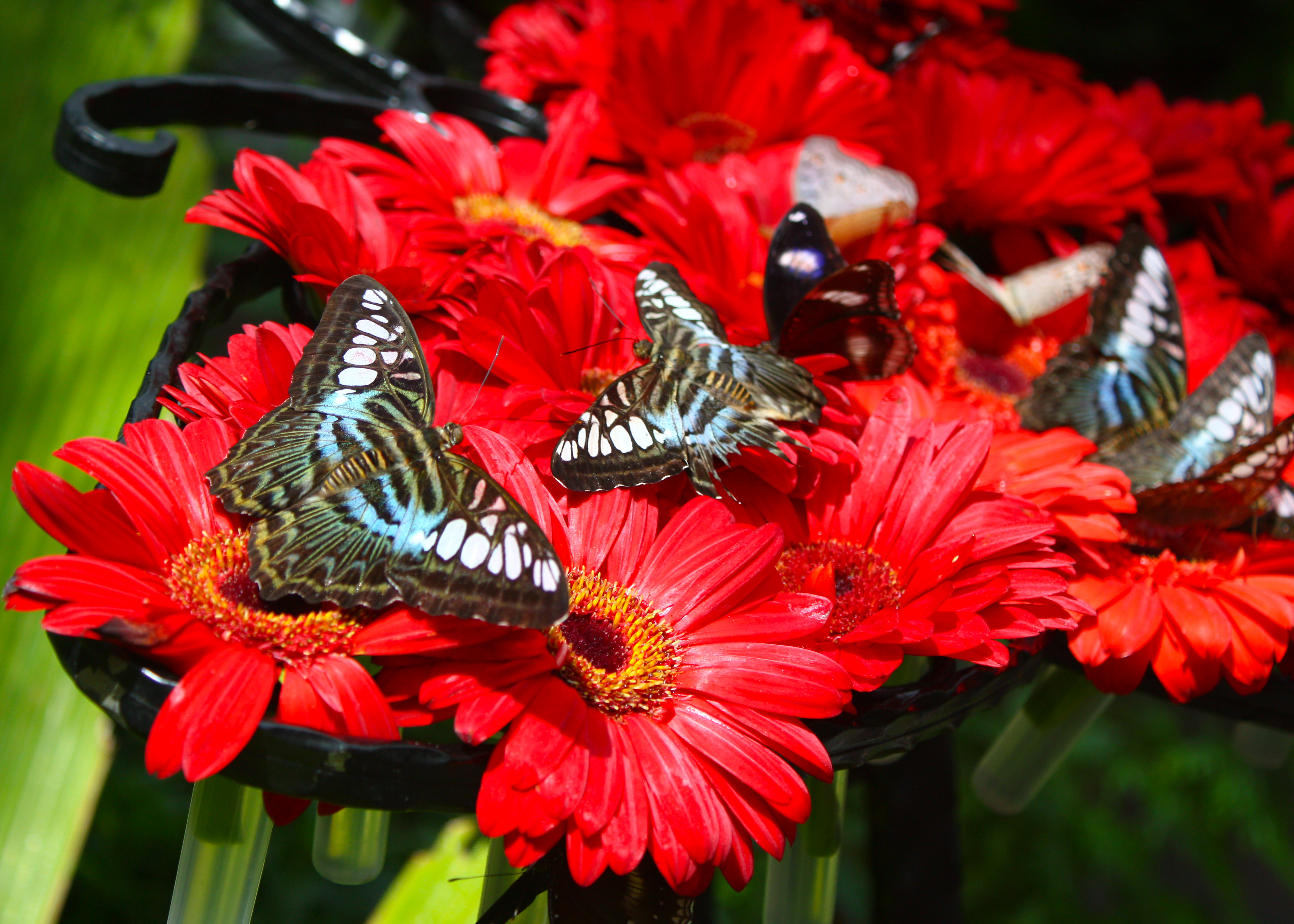 File Butterfly Garden At Changi Airport Singapore 3366809228 Jpg Wikimedia Commons