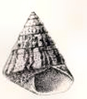 Cantharidus bisculptus 001.jpg