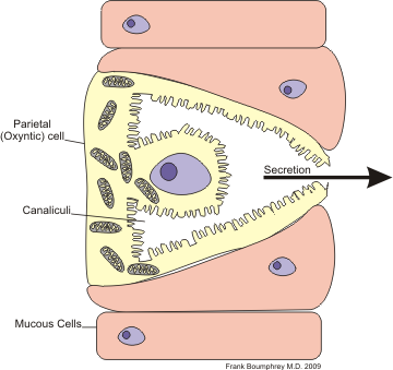 Cell parietal.png