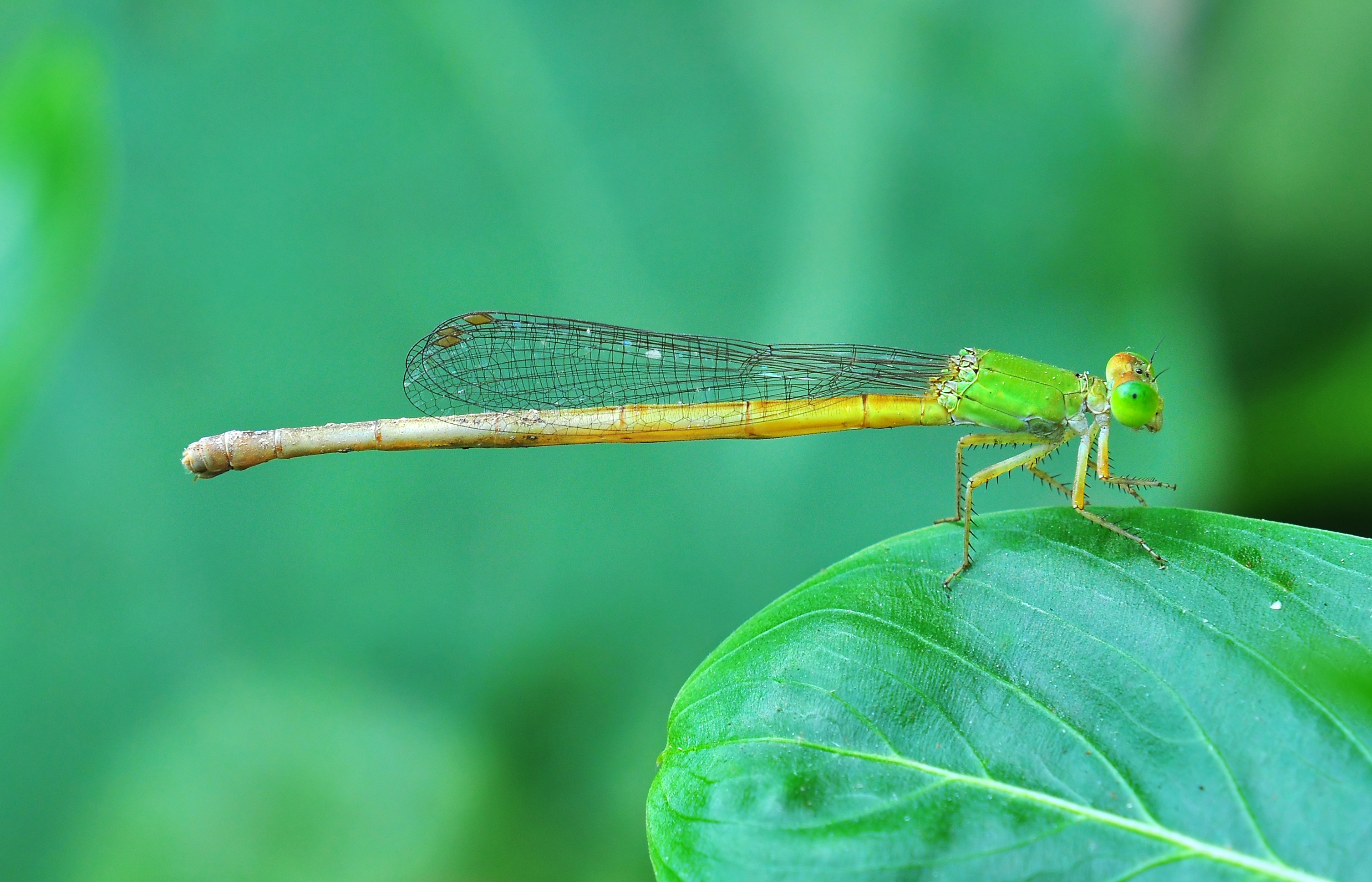 Burdwan India  city photos : Ceriagrion coromandelianum, Burdwan, West Bengal, India 23 09 ...
