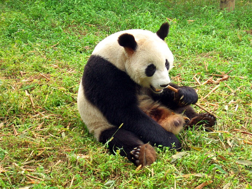 Chengdu-pandas-d04.jpg