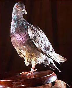 1913: Die berühmteste Taube der Welt Cher_Ami