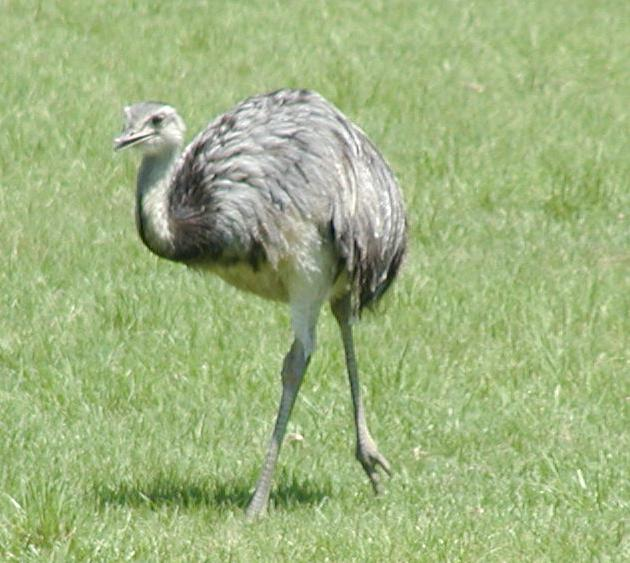 Archivo:Common rhea.jpg