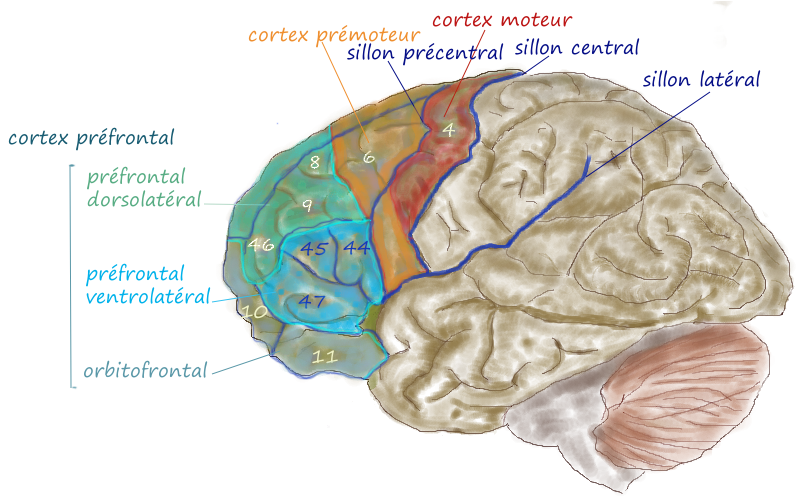 Cerebral Cortex Of Cat Or Dog Diagram Magnification
