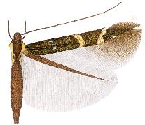 Cosmopterix aurotegulae.JPG