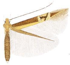 <i>Cosmopterix sinelinea</i>