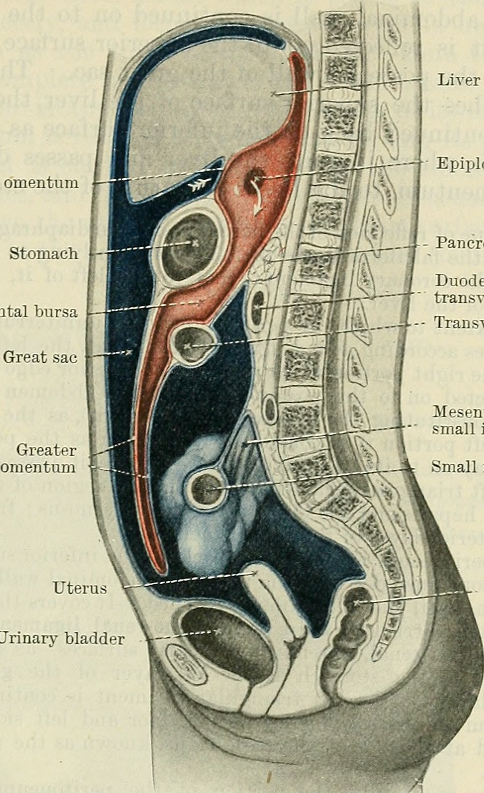 Anatomy book cunningham