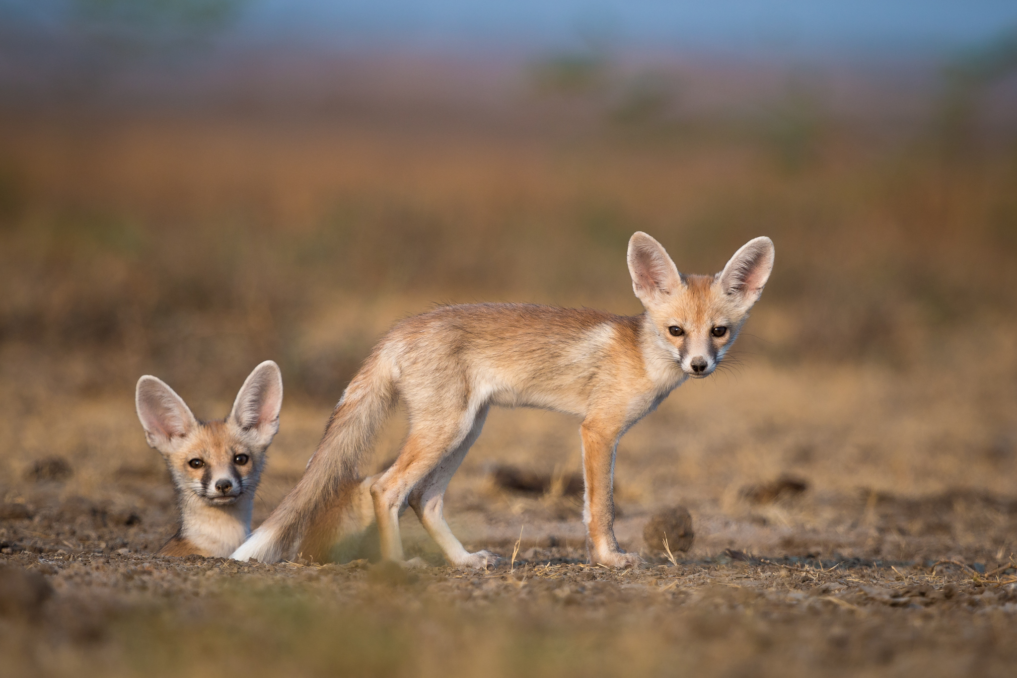 Foxes in the desert - photo#16