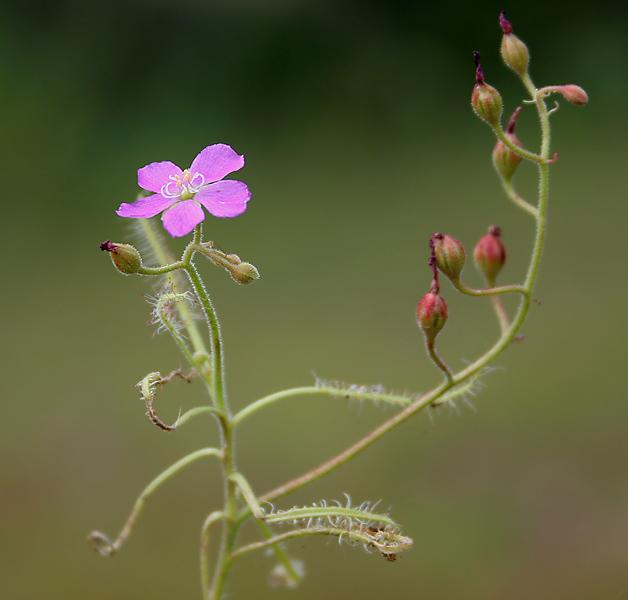 പ്രമാണം:Drosera indica (Gawati Davbindu) in Narsghapur, AP W IMG 0951.jpg