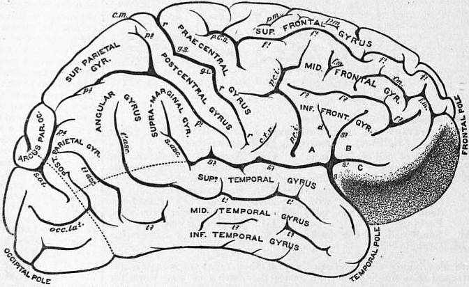 EB1911 Brain Fig. 9-Gyri and Sulci.jpg