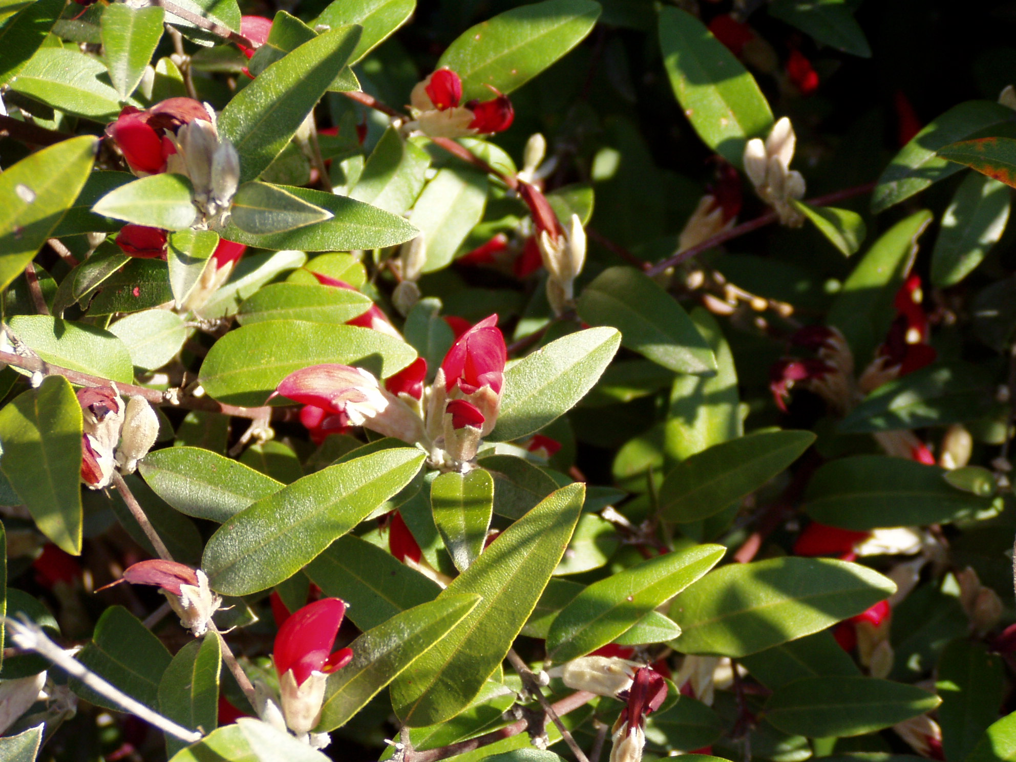 how to grow konjac plant perth