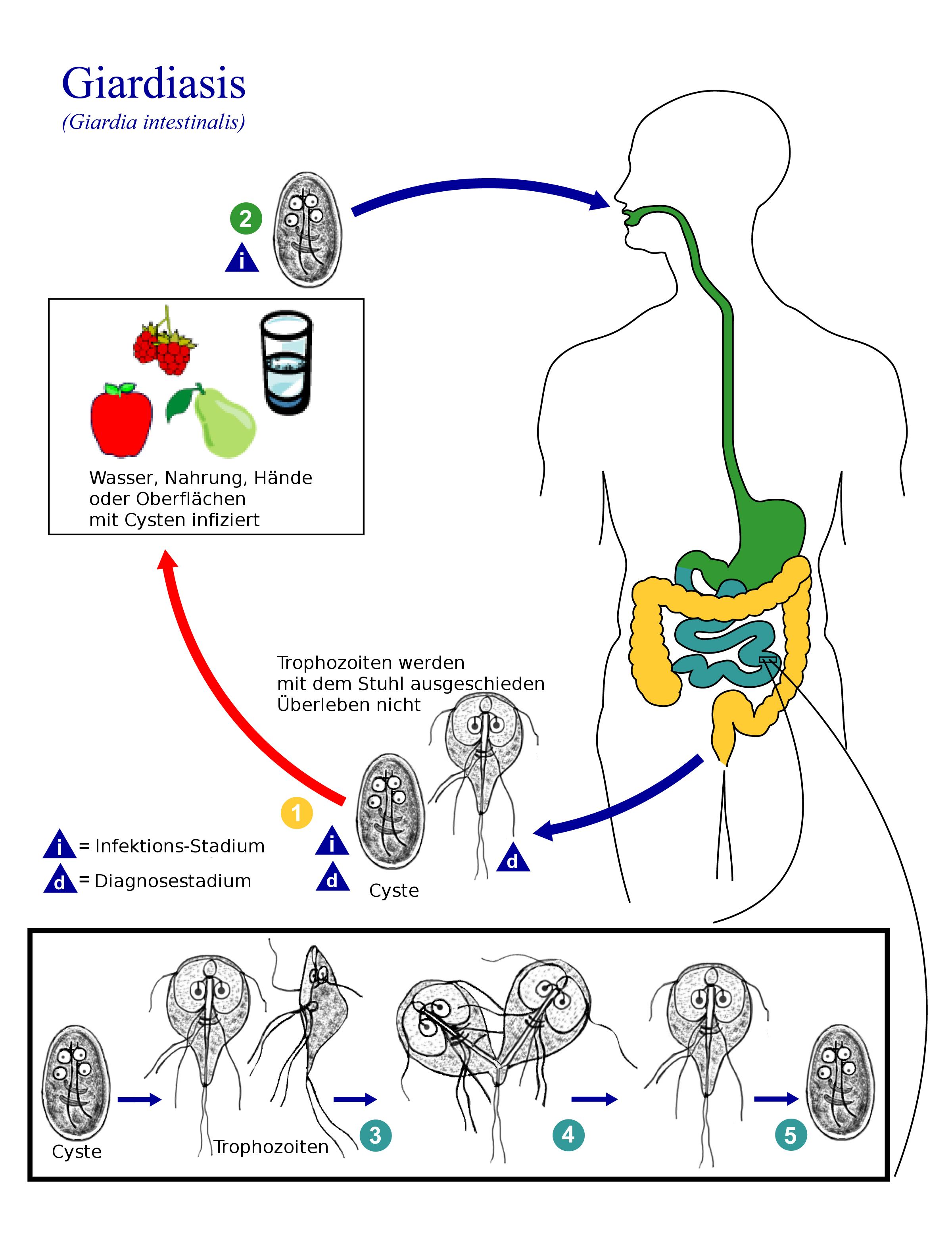 Pin em paraziti, Giardia duodenalis cdc