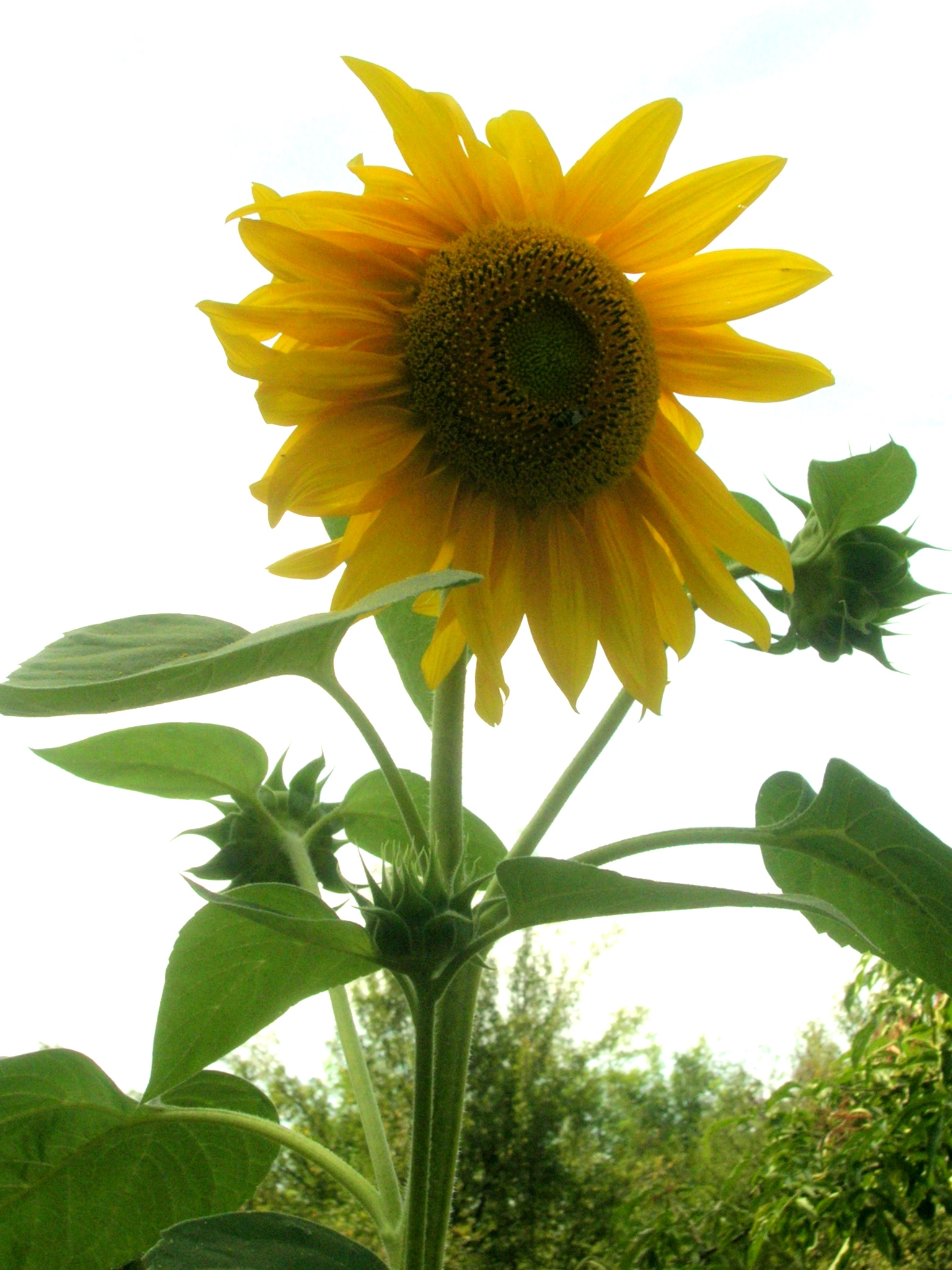 http://upload.wikimedia.org/wikipedia/commons/6/67/Girasol.JPG