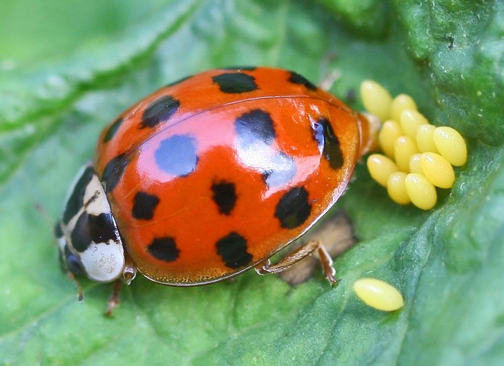 Huevo de insecto wikipedia la enciclopedia libre - Insectos en casa fotos ...