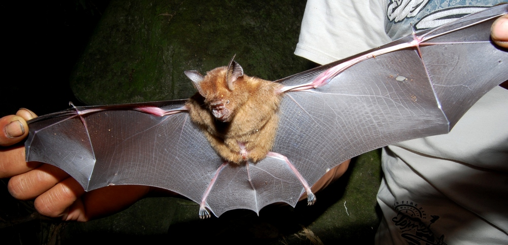 Intermediate Roundleaf Bat Wikipedia