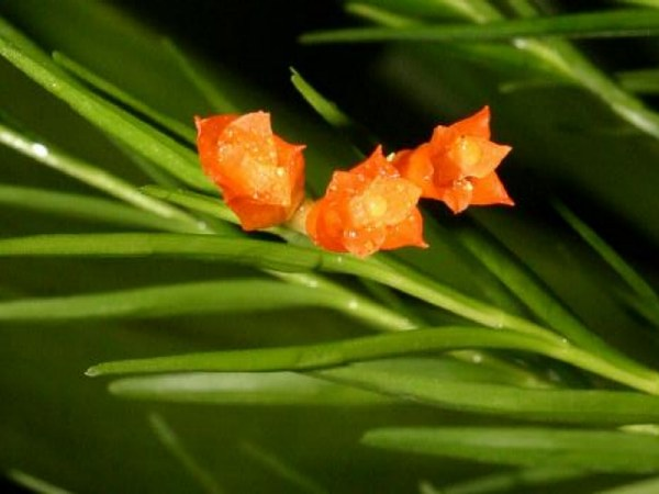 File:Isochilus aurantiacus.jpg