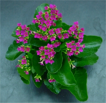 Kalanchoe - Wikipedia on solanum blooming plant, orchids blooming plant, kalanchoe blooming time, violet blooming plant,