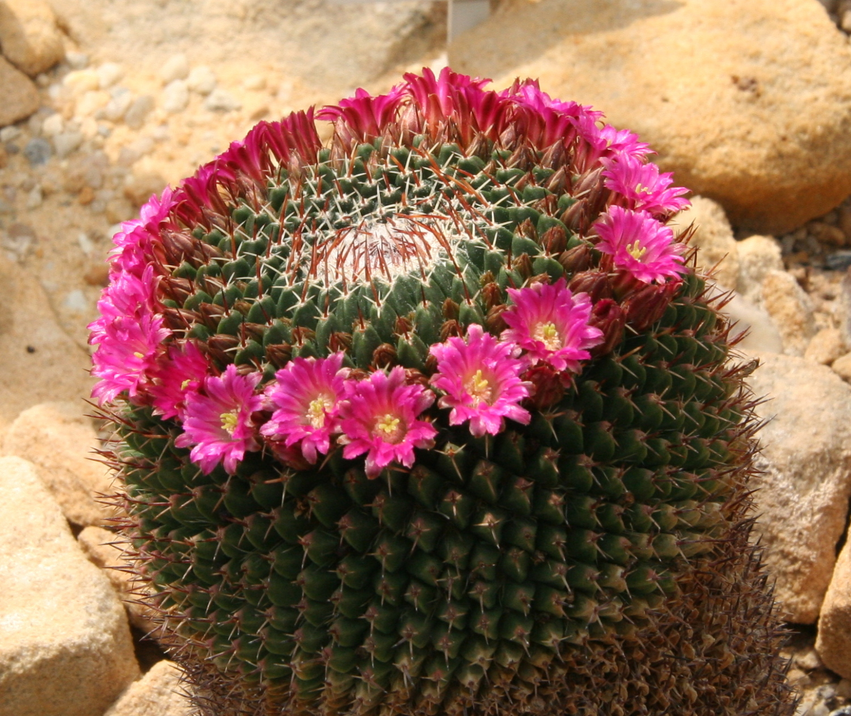 Маммилярия (Mammillaria) — Klumba.ORG