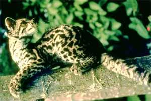Langschwanzkatze (Leopardus wiedii)